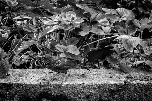 B&W bird in front of some strawberry plants
