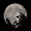 Full, 99% of the Rising Blue Moon is Illuminatedand and Tree Tops taken on July 31, 2015  IMG_3347 by Ted_Roger_Karson