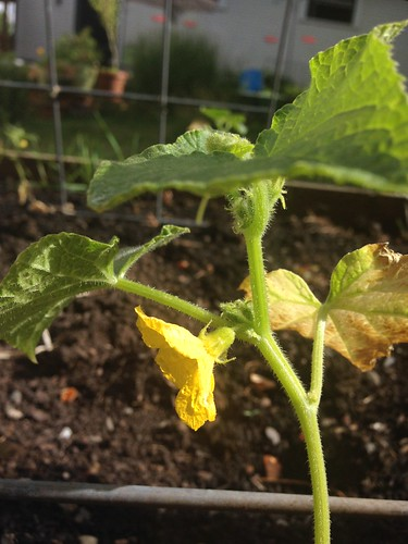 The first Boston Pickling cucumber flower