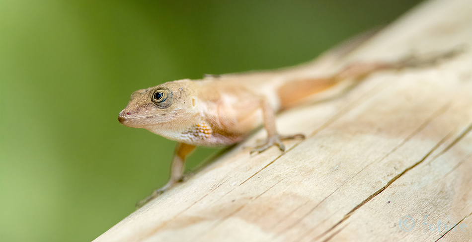 Anolis, lizard, Manuel, Antonio, National, Park, Costa Rica, Kaido Rummel