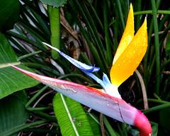 Bird of Paradise and Banana plants