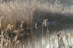 A Fisher in a winter scene