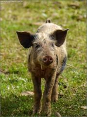 animal, wild boar, domestic pig, pig, fauna, pig-like mammal, pasture,