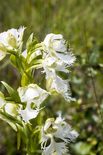 canada orchid flower manitoba katydid platantheraaquilonis westernprairiefringedorchid stuartburn manitobatallgrassprairiepreserve