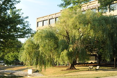 Weeping Willow, benches, Meacham Road, American Veterinarian Medical Association, Schaumburg, Illinois, USA