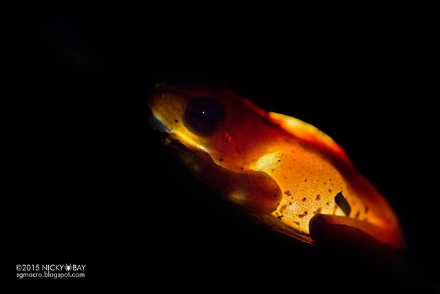 Harlequin flying frog (Rhacophorus pardalis) - DSC_4665