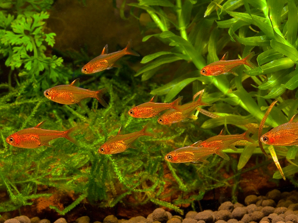 Freshwater aquarium fish list species - Ember Tetra Fish
