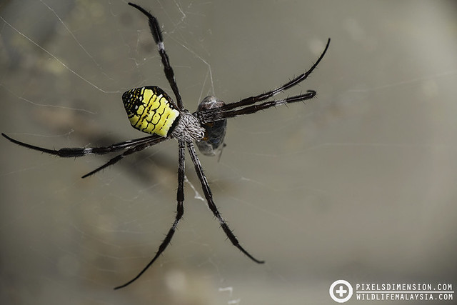 Mangrove Cross Spider (Argiope mangal ♀) with blowfly prey