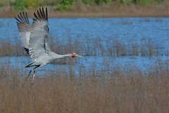 Brolga ( lift Off )
