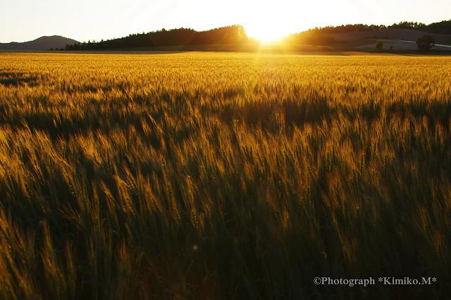 黄金色に光る麦畑2