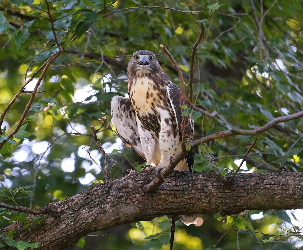 Hot hawk in Tompkins Square