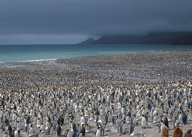 King-penguin-rookery-St-Andrews-Bay