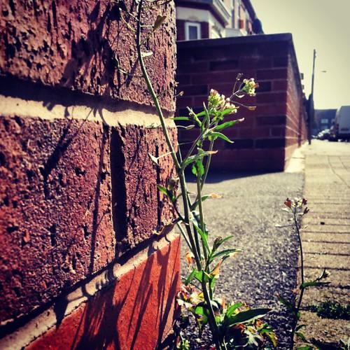 #shepherdspurse #Stretford #Manchester #UrbanFlora #botany