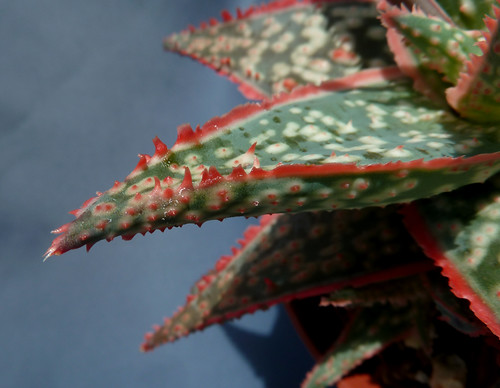 Aloe rauhii 18588967276_4e12cbb0f0