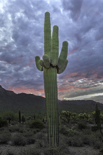 Old Man Saguaro | by D. Scott Taylor