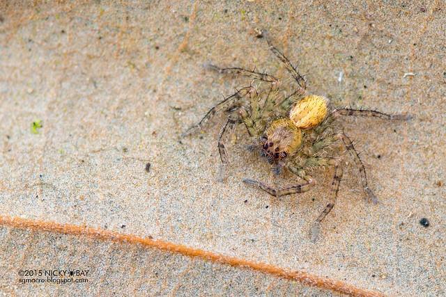 Huntsman spider (Sparassidae) - DSC_5213