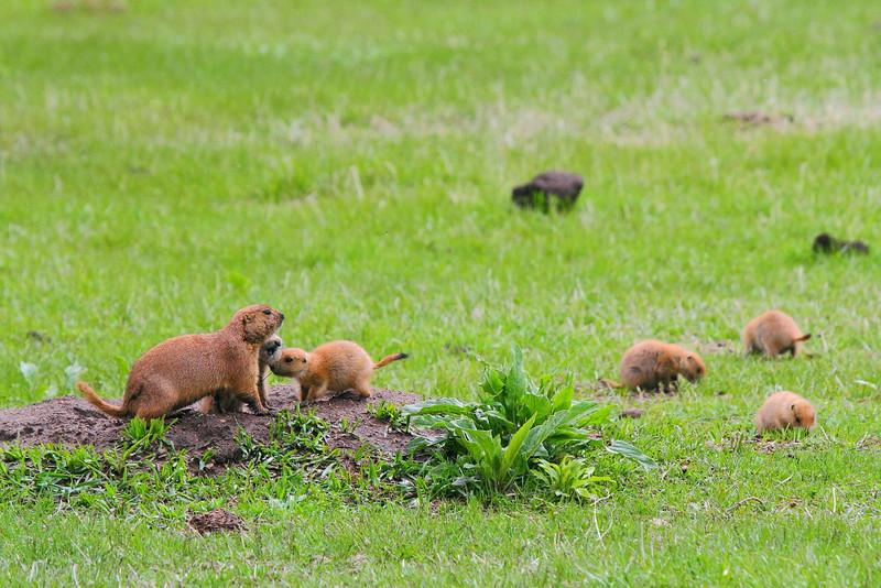 IMG_9356 Black-Tailed Prairie Dog