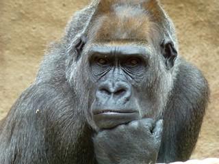Gorilla in Prague ZOO called Bikira