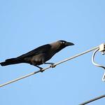 House Crow (Corvus splendens)