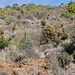 Small photo of Hillside with Bitter Aloes (Aloe ferox) ...
