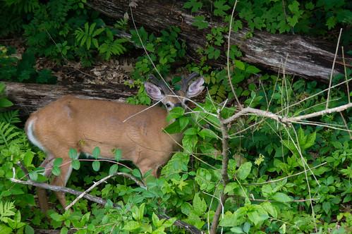 01736 Male Deer