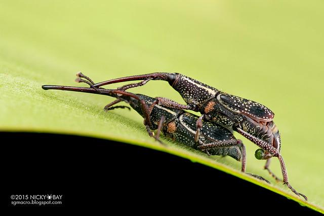 Weevils (Curculionidae) - DSC_3969