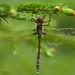 Dragonfly by laszlofromhalifax