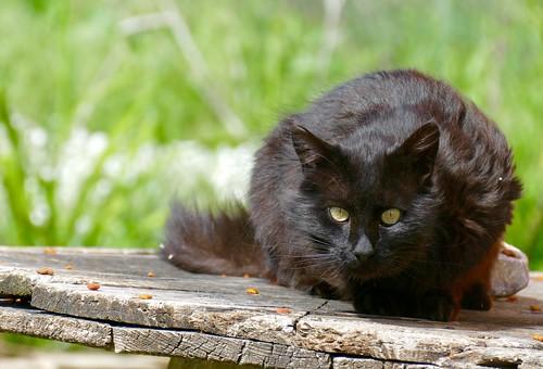 usa black cat kitty panasonic dakota manderson cc600 fz1000