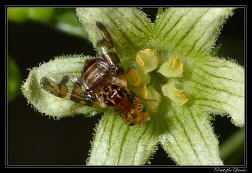 Goniglossum wiedemanni sur Bryonia dioica