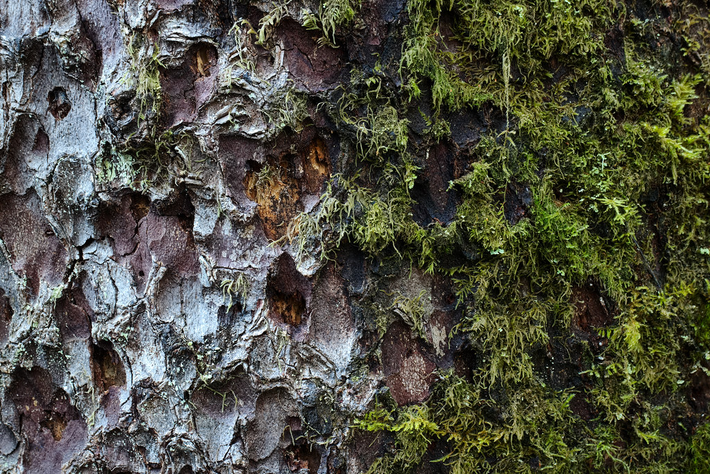 Moss and lichens on an old tree in the Hoh Rain Forest