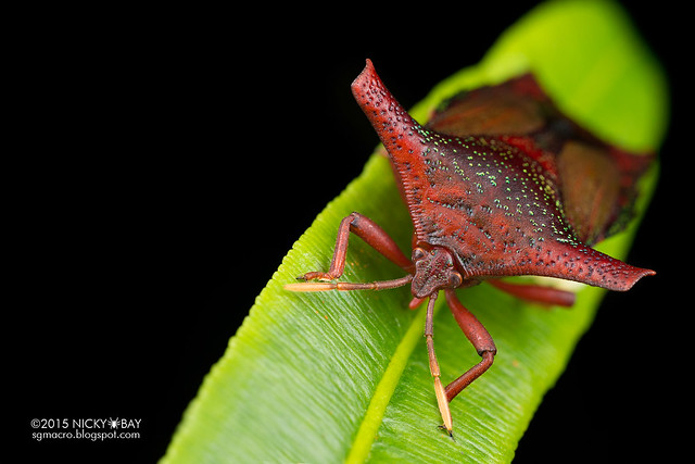Giant shield bug (Tessaratomidae) - DSC_3857