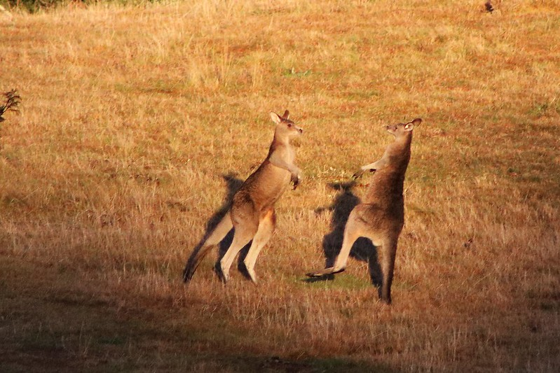 Kangaroos in Mittagong