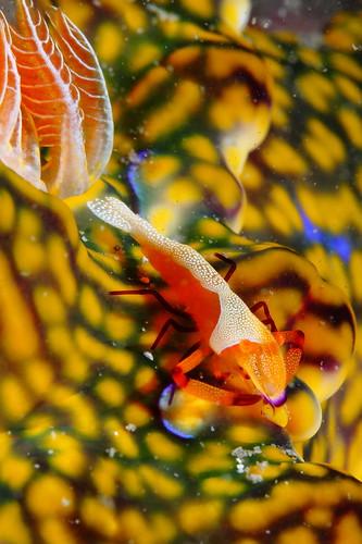 Periclimenes imperato 帝王岩蝦 & Ceratosoma magnificum 巨麗多彩海蛞蝓