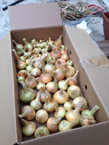 Onion harvest 2015.  A total of 12 pounds; not bad for a $1.99 bag of sets.