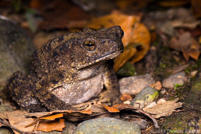 Giant river toad (Phrynoidis juxtasper)