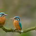 IJsvogel / Kingfisher / Martin-Pêcheur by Gladys Klip