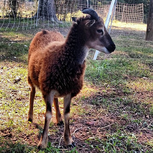 An elegant Soay ewe, long-legged, lean, and small compared to modern sheep breeds. She has a warm brown-auburn fleece, small horns, and dark patient eyes.