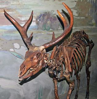 Navahoceros fricki (fossil cave deer) (Pleistocene; Guadalupe Mountains, New Mexico, USA) 2