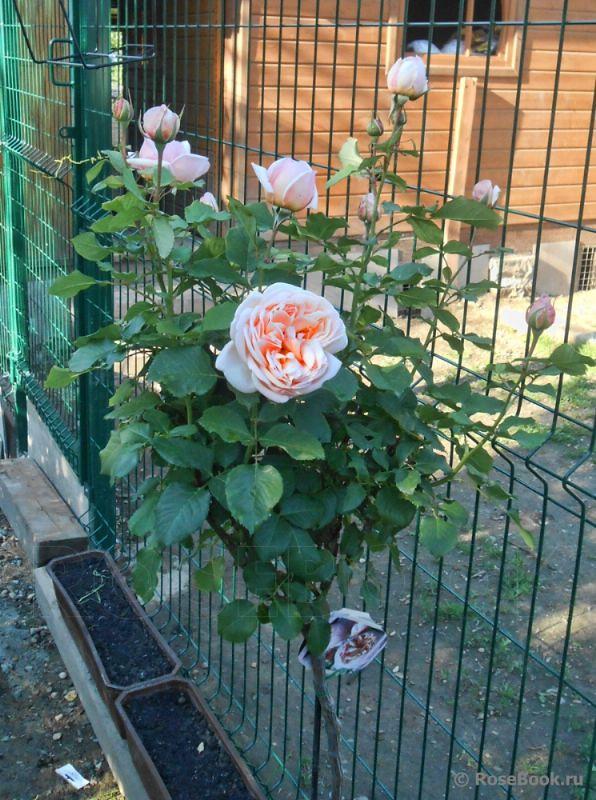1 cây hồng ngoại Alexandrine dạng tree rose, cây dạng này ở Việt Nam được bán với giá cả triệu đồng trên/cây