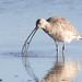 Long-billed Curlew eating worm by Garrett Lau