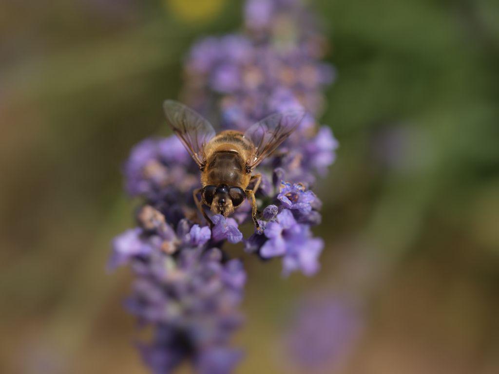 Fliege auf Lavendel