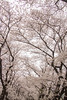 Photo:背割堤の桜並木 / Cherry Blossoms at Sewari Tsutsumi Rverbank By kimtetsu