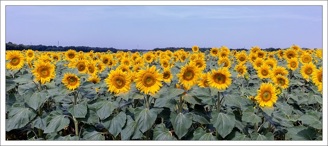 champ de tournesols - sunflowers