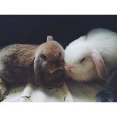 So precious. Baby #bunnies. #rabbits #bunlife #bunsofig :rabbit::rabbit2::heart_eyes: