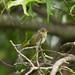 Juvenile Yellow Warbler