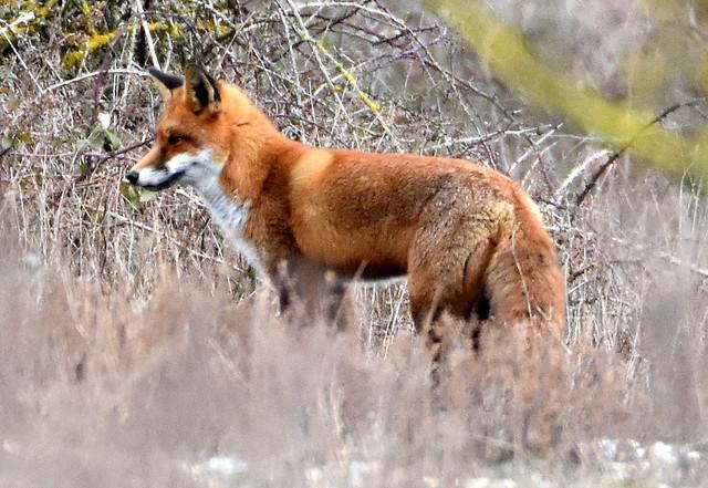 Fox searching.
