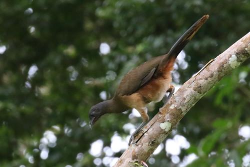 rufousventedchachalaca trinidadtobago2016 flickr easterntobago trinidadandtobago tt