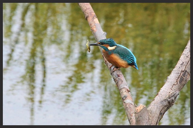Kingfisher with Stickleback (Alcedo atthis) Explore 13-06-15