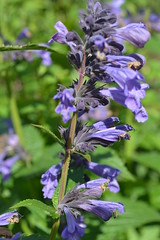 NEPETA 'Weinheim Big Blue'