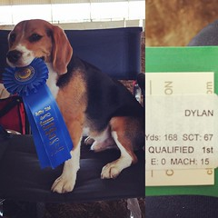 Yahoo!! Dylan wins Master Standard 12in! And he got the most MACH points he has ever gotten, the second highest amount of point from all the little dogs (4-16)!! Even Dax was running like the wind, but then had a beagle moment and his nose hit the ground